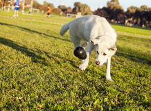 Labrador Fetching Chew Toy in Park. A mixed Labrador female dog caught in the middle of fetching a chew toy at the park Royalty Free Stock Image