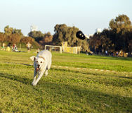 Labrador Fetching Chew Toy in Park. A mixed Labrador female dog caught in the middle of fetching a chew toy at the park Stock Images