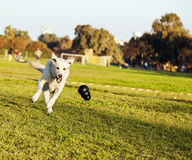Labrador Fetching Chew Toy in Park Royalty Free Stock Photos