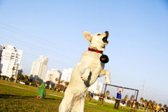 Labrador Jumping After Chew Toy in Park Royalty Free Stock Photography