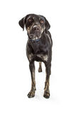 Mixed Large Breed Dog With Black Coat Royalty Free Stock Photography