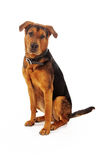 Mixed Large Breed Dog Sitting Stock Photography