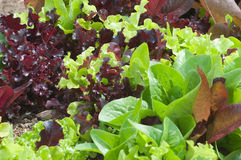 Mixed Lettuce. Salad mix growing in a field in western Colorado Royalty Free Stock Photography