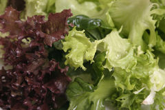 Mixed lettuce close up Royalty Free Stock Image