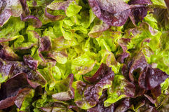 Mixed lettuce leaves Royalty Free Stock Image