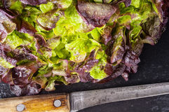 Mixed lettuce leaves Stock Image