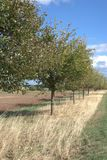 A mixed line of fruit trees. In early autumn, made up of a mix of apple, pear and plum trees. Some of the trees still carry fruit that hasn`t yet been picked or royalty free stock photo