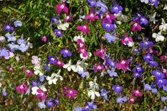 Mixed Lobelia flowers. Royalty Free Stock Photography