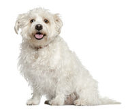 Mixed Maltese dog, 4 years old, sitting. In front of white background Royalty Free Stock Image