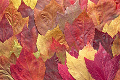 Mixed Maple Autumn Leaves Background. In the Fall Royalty Free Stock Images