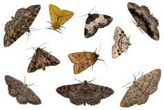 Mixed moths Stock Photography