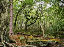Mixed old trees with twisted branches in ancient an english woodland clearing with large moss covered boulders on the ground royalty free stock photography