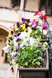 Mixed pansies in the flower pot, floral home decoration Royalty Free Stock Photography