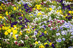 Mixed pansies flowers in the garden, seasonal natural scene Stock Photography