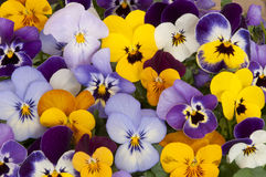 Mixed pansies in garden. Mixed colored pansies in garden Royalty Free Stock Photography
