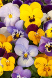 Mixed pansies in garden Stock Image