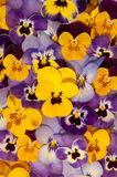 Mixed pansies in garden Royalty Free Stock Photos