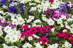 Mixed petunia flowers. Mixed and multi-colored petunia flowers in the garden stock images