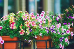 Mixed petunia flowers. Multicolored petunias grow in a box in the square. stock photography