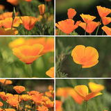 Mixed pictures of oranges California poppies Royalty Free Stock Image