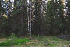 Mixed pine and birch forest in Finland. Mixed pine and birch forest in summer, Municipality of Ii in the region of Northern Ostrobothnia, Finland stock images