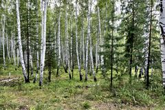 Mixed pine and birch forest in summer. In dry weather stock image