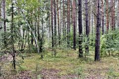 Mixed pine and birch forest in summer. In dry weather stock images