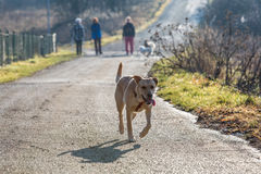 Mixed Pitbull Stock Images