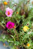 Mixed Portulaca Royalty Free Stock Images