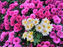 Mixed Purple Chrysanthemum Daisy Flowers Background royalty free stock photography