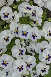 Mixed of purple and white color pansy, Viola altaica or violet flower covered with snow, Pancharevo stock photography