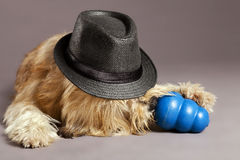 Mixed-Race Dog with Chew Toy in Studio. Studio portrait of a mixed-race dog, its eyes hidden by the hat on its head, chewing on a blue pet chew toy Royalty Free Stock Photo