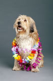 Mixed-Race Dog with Hawaii Necklace in Studio Stock Photography