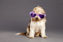 Mixed-Race Dog with Purple Glasses in Studio Stock Image