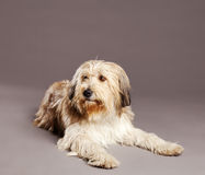 Mixed-Race Dog Studio Portrait Stock Photos