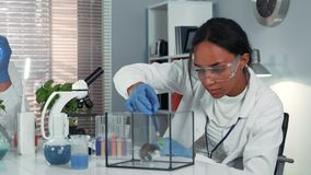 Mixed race research scientist providing experiment with lab mouse by giving it some doze of medicine. Woman is in safety glasses working in bright chemistry stock footage