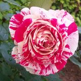 Mixed red rose for wedding bouquet stock images