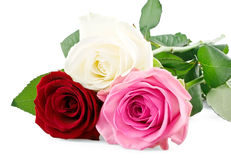 Mixed roses. On white background stock photography