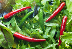 Mixed salad greens with chillies. Mixed salad greens with red and green chillies on top. Vegetarian background Royalty Free Stock Photography