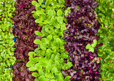 Mixed salad, variety in little leaflets. Macro. Mixed salad varieties. Small leaves. Seen from above. Full background. Photo taken with macro lens, maximum Royalty Free Stock Photos