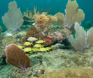 Mixed school of grunts on a reef Stock Photography