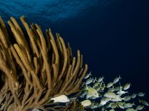 Mixed school of grunts shelter in a large Porous Sea Rod, on a reef in Bonaire. Royalty Free Stock Photos