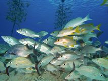 Mixed school of snappers and grunts Royalty Free Stock Photography