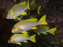 Mixed school of sweetlips, Raja Ampat, Wonderful Indonesia Royalty Free Stock Photos