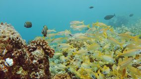 Mixed school of tropical coral reef fish. Mixed school of smallmouth grunts and bluestripe snappers on a coral reef in the Maldives stock video footage