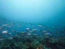 Mixed schools of fusiliers at fusilier reef, Raja Ampat, Indonesia Stock Photos