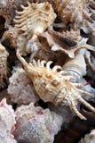 Mixed Sea Shells. Macro shot of several sea shells Royalty Free Stock Photo