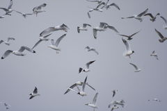 Mixed seabirds flying against grey sky. Mixed seabirds flying on grey sky background. Kittiwakes, Fulmars, and Black-headed Gulls. Winter in Husavik, Iceland Stock Images