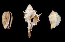 Mixed shells. Isolated on black Stock Photography