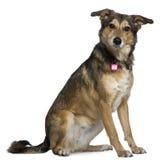 Mixed Shepherd dog, 3 years old, sitting royalty free stock photo